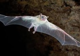 Can flying bats be regarded as blind?