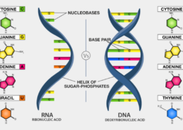 I Need Insights Into RNA Vs DNA – Comparison, Functions, Structure, Reactivity and Key Differences