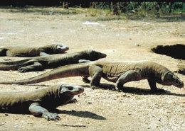 What Are The Main Komodo Dragon Facts You Need To Know?