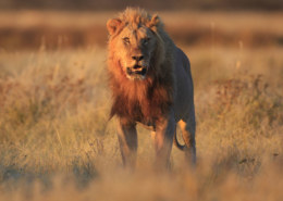 Where Do African Lions Live In The Parts Of The World?