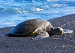 What You Need To Know About Green Sea Turtles?