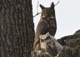 The Great Horned Owls Are Quite Big But What Is The Actual Great Horned Owl Size?