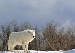 What Are Arctic Wolves? Discover The Mind Boggling Facts About Arctic Wolves