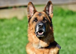What is the difference between Alsatian And German Shepherd Dog breeds?
