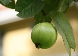 Discover The Health Benefits Of Guava To The Body?