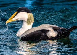 What You Need To Know About Common Eider