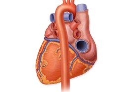 What Is The Largest Artery In The Body?