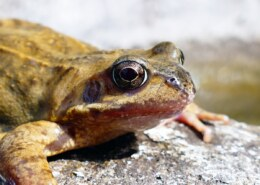 Can The Croaking Of Frogs Be Regarded As Noise Pollution?