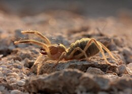 Are Camel Spiders Poisonous? – Facts, Diet, Lifespan