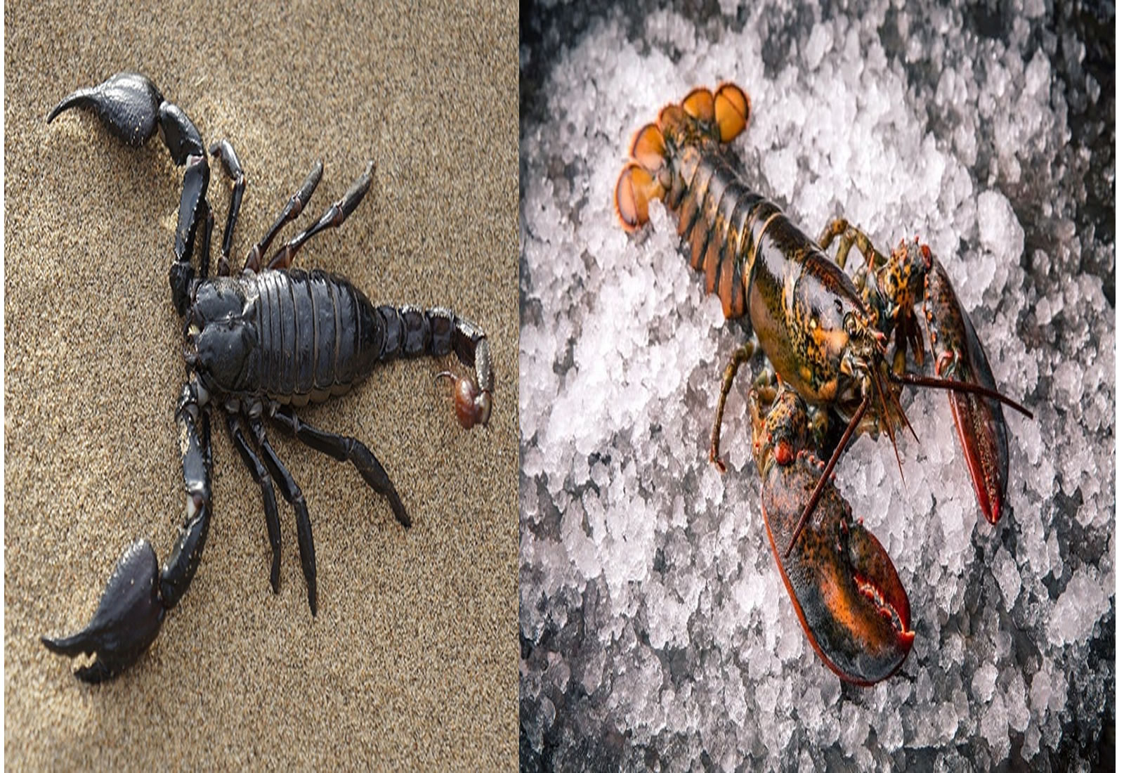 Are Scorpions Associated With Lobsters