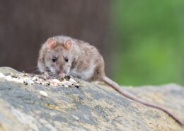 Are Rats Dangerous To Humans?