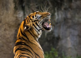 What species of tiger is most dangerous?